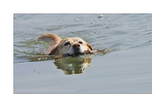 _MG_9313 (corinneguegan) Tags: dogsandcats dogs catsdogs canins chiens labrador