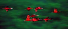 Brushes of Scarlet (miTsu-llaneous) Tags: long exposure longexposure scarletibis scarlet ibis flock red vibrant animal wildlife eudocimusruber nikon d500 tamron 150600mm trinidad caroni swamp island caribbean birds