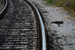 The Crow (emina.knezevic) Tags: crow railroad dorcol beograd pruga voz train industrial streetphotography citiyphotography