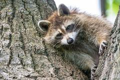 """""""Catch me if you can""""! (anniebevilacqua) Tags: animal raccoon ratonlaveur procyonlotor faunemontréal montrealwildlife arbre cimetière cemetery portrait"""