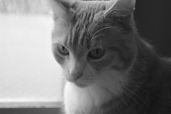 Nirani the kitty again (missannemarie91) Tags: cat kat kitty meow blackandwhitepicture pet divacat