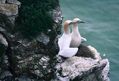 Nesting Gannets (littlestschnauzer) Tags: gannet pair nesting nature bempton cliffs yorkshire uk east riding 2018 may birds seabirds