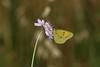 Colias crocea (Nature Box) Tags: nature butterfly coliascrocea été summer img0389