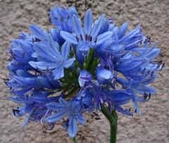 Blue flower [Explored June 21, 2018] (Hélène_D) Tags: hélèned france provencealpescôtedazur provence paca alpesdehauteprovence ahp manosque plante plant flower fleur myflowers agapanthe agapanthus waterdroplet gouttedeau inexplore
