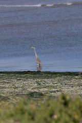 IMG_2464 (armadil) Tags: mavericks beach beaches bird birds flying californiabeaches heron greatblueheron blueheron