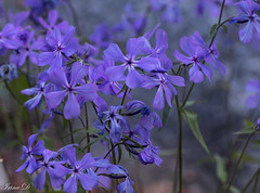 For the evening (Irina1010) Tags: flowers bokeh blue nature canon ngc coth5 npc