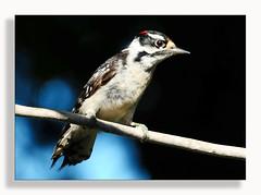 Hairy Woodpecker (Dennis J2007) Tags: hairywoodpecker