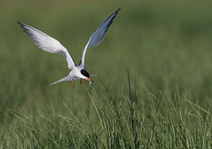 Common Tern (Brian_Harris_Photography) Tags: common tern beach black bird white wildlife exposure park portrait green grass hiking sand orange ocean nesting light nikon nikkor nature lens sunlight sunshine natural prime