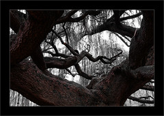 Le cèdre bleu pleureur de l'Atlas -5- (Jean-Louis DUMAS) Tags: cèdre arbre arboretum parc nature paysage landscape tree bois ciel forêt pelouse champ wood fleurs flower