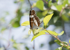 White Admiral Butterfly (Anne Richardson) Tags: knepp butterfly westsussex wildlife nature macro macrophotography insect