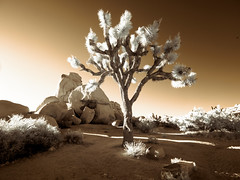 The Sunset Tree (Adventures in Infrared) (Torsten Reimer) Tags: olympusepl5 yuccabrevifolia desert northamerica himmel wüste mojavedesert rocks joshuatreenationalpark unitedstatesofamerica baum tree schatten shadows sky felsen usa infrarot california infrared twentyninepalms unitedstates us