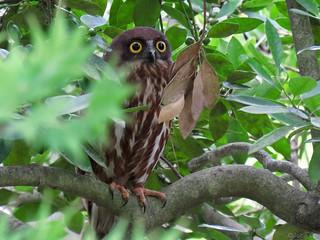 Japanese hawk owl