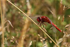 923B0228 (event-photos4dreams (www.photos4dreams.com)) Tags: gersprenz münster hessen germany naturschutz nabu naturschutzgebiet photos4dreams p4d photos4dreamz nature river bach flus susannahvictoriavergau susannahvvergau eventphotos4dreams canoneos5dmarkiii libelle dragonfly red rote