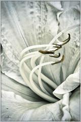 A cœur.... (Françoise kERVAREC) Tags: fleur blanc pistil