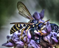 Stylized Wasp Portrait Macro (Vidterry) Tags: wasp wespe photomatix photoshopcs6