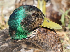 Mallard (Deanne Wildsmith) Tags: duck mallard bird waterfowl lichfield stowepool staffordshire