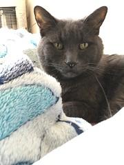 Regal Bonkers on Soft Blankets (sjrankin) Tags: 8july2018 closeup animal cat bonkers pillow blanket futon bedroom kitahiroshima hokkaido japan