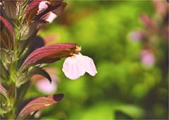 acanthus......... (atsjebosma) Tags: bokeh bloem garden tuin summer zomer atsjebosma groningen thenetherlands nederland july juli 2018 colourful kleurrijk