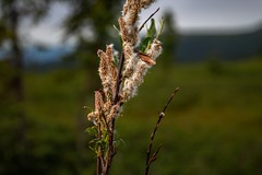 Cotton Plant (Sergei Bass) Tags: grass tree flora branch flower plant outdoors noperson outdoor conifer nature grassfamily plantstem sitting leaf small wood bird reed spring green blossom twig owl standing weed growth field birch dawn