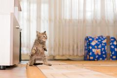 When you hear your human open the fridge. (Vladislav Chanev) Tags: cat kitten zagorka feline pet domestic animal crazy wacky strange funny pose