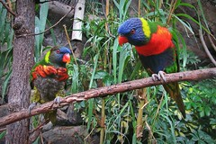 colorful birds :) (green_lover (away for a week)) Tags: parrots birds animals junglepark tenerife canaryislands spain zoo colours branch two