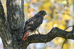 Red-tailed Hawk (mobull_98) Tags: redtailedhawk hawk