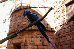 Hyacinth macaw (Rick & Bart) Tags: hyacinthmacaw macaw bird animal fauna waltdisneyworldresort animalkingdom disney orlando florida rickvink rickbart canon eos70d disneyworld expeditioneverest legendoftheforbiddenmountain