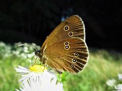 Butterfly 1708 (+1300000 views!) Tags: butterfly borboleta farfalla mariposa papillon schmetterling v