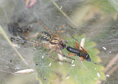 Agelena labyrinthica (Alan Thornhill) Tags: agelena labyrinthica labyrinthspider ichneumon cavenhamheath suffolk uk spider agelenidae