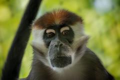 Rotscheitelmangabe (Jutta Achrainer) Tags: sonyalpha7riii juttaachrainer tierpark hellabrunn zoo rotscheitelmangabe fe100400mmf4556gmoss