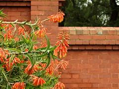 Garden at Caloola - succulents (Lesley A Butler) Tags: australia caloola garden sunbury victoria