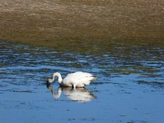 dabbling (achatphoenix) Tags: wildlife dk dänemark danmark december juni wasser water eau aqua nordseeland zealand northzealand schwan swan cygne