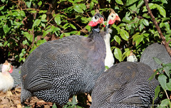 Guinea Fowl (elianek) Tags: zoom saojosedoscampos brazil brasil parque park natureza nature ave angola galinha chicken guinea animal birds