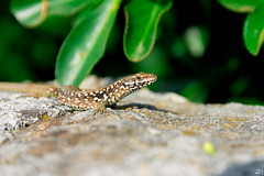 190/365 (misa_metz) Tags: nikon nature naturephotography photo photography outdoor animal reptile lizard sigma outdor colors summer croatia macro