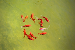 (m r z l t n) Tags: zoo animal animals wild wildlife budapest hungary fish goldfish lake artifical fishes natural nature