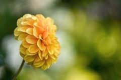 Dahlia in my garden. (agnieszka.a.morawska) Tags: dof macro july nikon helios helios44m bkhq beyondbokeh bokehlicious bokeh summer garden dalhia dalia flower