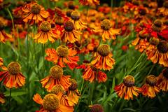 Full of colours ... (Julie Greg) Tags: flower flowers colours nature park kent leedscastle fujifilmxt20 fujifilm pakr garden england details macro