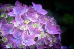 le ortensie della Bretagna  ... (miriam ulivi) Tags: miriamulivi nikond7200 france bretagne quimper finistère fiori flowers fleurs ortensie hydrangeas hortensias macro