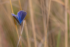 2018-07-15--lorry-mardigny0051.jpg (heiserge) Tags: france azuré macro lorrymardigny nature insectes butterfly moselle europe papillon lorraine macrophotographie animal animaux