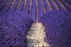 Love lawenda (evko ...) Tags: lavende lawenda valensole france francja prowansja provence fields pola champs