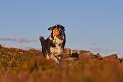 16-july-Venus-Patterson-Sunset_210 (Stefán H. Kristinsson) Tags: venus dog hundur sunset reykjanes iceland ísland playing july summer 2018 nikond800 nikon70200f4 action