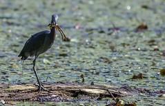 Heron breakfast. (oldirtydarryl1) Tags: northpointstatepark frog littleblueheron heron bird