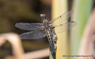 Four Spotted Chaser - female