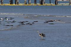 IMG_2471 (armadil) Tags: mavericks beach beaches bird birds flying californiabeaches heron greatblueheron blueheron