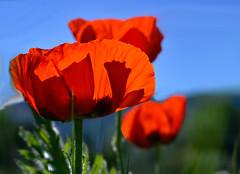 Blue Skies (Karen McQuilkin) Tags: mantuapoppies red poppies blue sky earlyjune