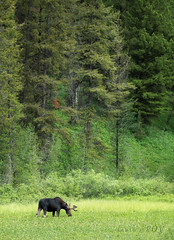 the bog (laura's POV) Tags: wyoming grandtetonnationalpark gtnp nationalpark forest trees green nature moose bull summer landscape wildlife mammal pacificcreek unitedstates west western lauraspov lauraspointofview jacksonhole moran bog marsh wetland