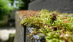 Moss grows on the edge of a grave (Monceau) Tags: moss grows growing edge grave pèrelachaise paris forcedperspective flickrfriday macro green seeds