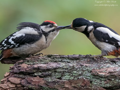 Great Spotted Woodpecker (Dendrocopos major) (www.mikebarthphotography.com 1.5M Views thanks !) Tags: dendrocoposmajor greatspottedwoodpecker