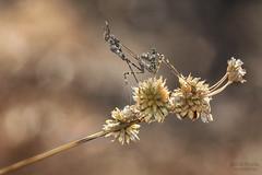 En la sombra (Jesus Tejon) Tags: empusa ninfa macro nikon tamron bokeh mantis insectos naturaleza nature