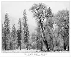 Trees and Falling Snow (G Dan Mitchell) Tags: yosemite valley national park flurries storm clouds fall edge meadow trees forest falling snow sierra nevada mountains landscape nature california usa north america